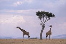 Two Giraffes With Acacia Tree, Masai Mara, Kenya