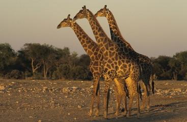 Giraffe, (Giraffa) camelopardalis, Etoscha National Park, Namibia