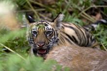 Indian Tiger (Bengal Tiger) (Panthera Tigris Tigris), Cub At The Samba Deer Kill, Bandhavgarh National Park, Madhya Pradesh State