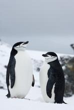 Chinstrap Penguins (Pygoscelis Antarcticus), Half Moon Island, Antarctic Peninsula, Drake Passage, Weddell Sea, Antarctica