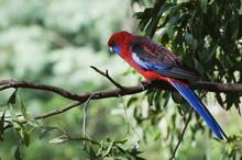 Crimson Rosella, Dandenong Ranges, Victoria