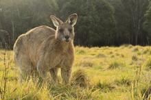 Eastern Grey Kangaroo, Geehi, Kosciuszko National Park, New South Wales