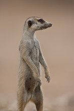 Meerkat (suricate) (Suricata Suricatta) Standing On Its Hind Legs, Kgalagadi Transfrontier Park