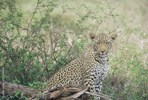 In de dag Luipaard Leopard (Panthera pardus), Kruger National Park, South Africa, Africa