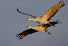 Two Sandhill Cranes (Grus Cana...