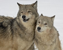 Two Gray Wolves (Canis Lupus) In The Snow In Captivity, Near Bozeman, Montana