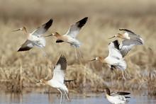 Flock Of American Avocet (Recurvirostra Americana) In Flight, Whitewater Draw Wildlife Area, Arizona