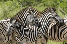 Common Zebra Or Burchell's Zebra (Equus Burchelli), Hluhluwe & Imfolozi  Game Reserves, Formerly Hluhluwe & Umfolozi Game Reserves, Kwazulu-Natal