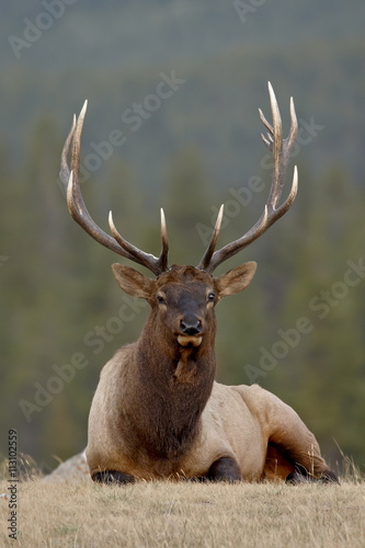 Bull elk (Cervus canadensis), Jasper National Park, Alberta, Canada, North America