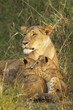 Lioness with two cubs (Panthera leo), Masai Mara Game Reserve, Kenya, East Africa, Africa