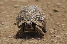 Leopard Tortoise (Geochelone Pardalis), Kruger National Park