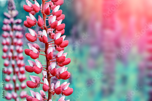 In de dag Candy roze Summer landscape with beautiful bright lupine flowers