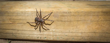 Canada's Largest Creepy Looking Spider, The Dock Spider Of The Pisauridae Family, Dolomedes Sp), Sitting Atop A Piece Of 4x4 Lumber On A Sunny Day.