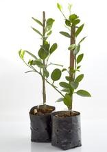 Young Green Lemon Tree