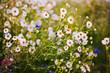Polne kwiaty przy polu