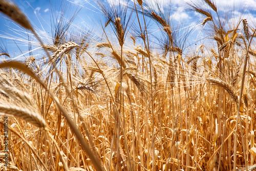 Fotografie, Obraz  Sommerso da un campo di grano