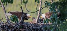 Adult Bald Eagles Feeding Their Chicks