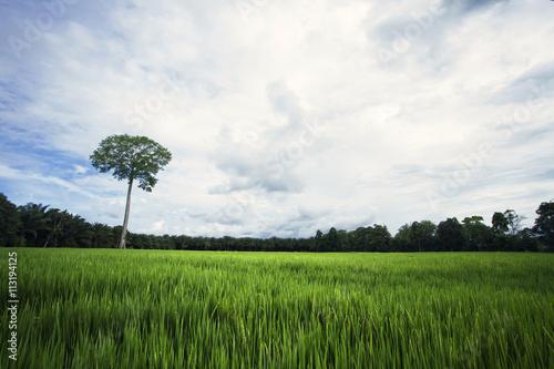 Fotobehang Cultuur Green field with single tree
