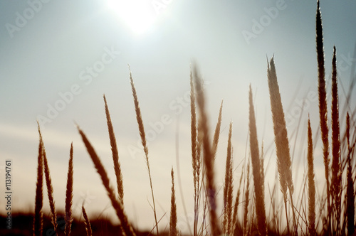Dune grass (Ammophila -Poaceae) at sunset