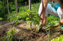 Covering Young Capsicum Plants With Straw Mulch To Protect From Drying Out Quickly Ant To Control Weed In The Garden. Planting, Using Mulch For Weed Control, Water Retention.