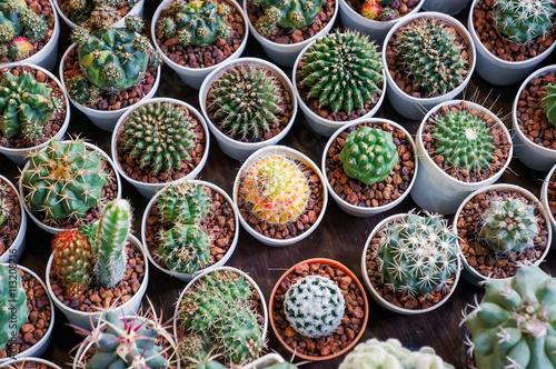 Papiers peints Cactus Cactus collection in small flower pots.
