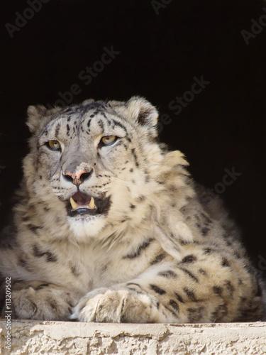In de dag Panter Снежный леопард