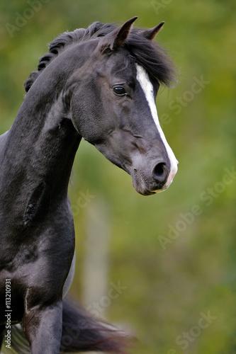 Fototapeta Close up of beautiful black Arabian Stallion trotting in field. obraz na płótnie