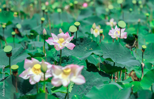Blooming Lotus Flower In A Field With Pink Petals Blooming