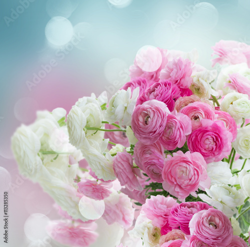 obraz dibond Pink and white ranunculus flowers