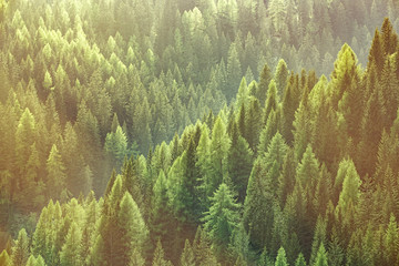 Fototapeta Drzewa Healthy green trees in a forest of old spruce, fir and pine trees