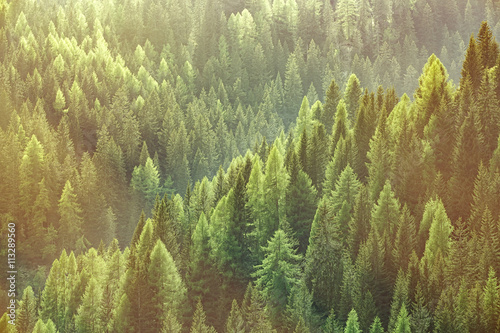 Papiers peints Forets Healthy green trees in a forest of old spruce, fir and pine trees