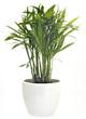 canvas print picture - gruene Palme als Zimmerpflanze