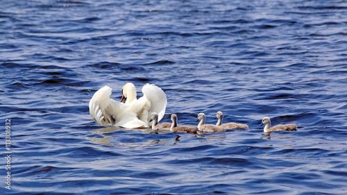 Poster Swan moeder zwaan zwemt voor haar 5 jongen op het Veluwemeer bij Nunspeet