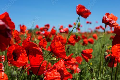 Plakat Łąka z kwiatami maku, polski krajobraz