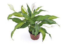 Spathiphyllum Plant With Flowers In Flower Pot, Isolated On White Background. Commonly Known As Spath Or Peace Lilies