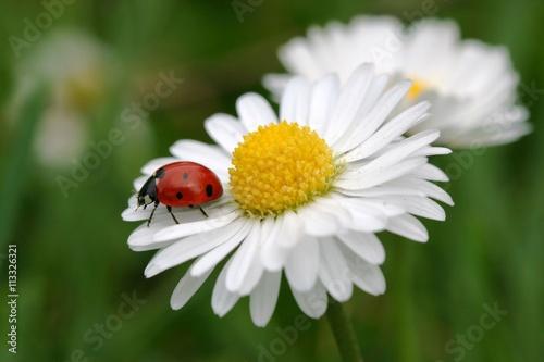 Tuinposter Madeliefjes Marienkäfer auf Gänseblümchen