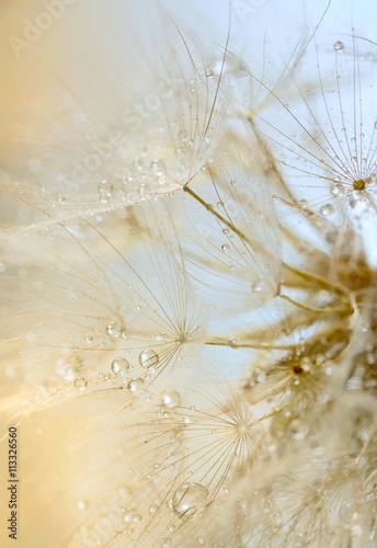 krople-rosy-na-dandelion