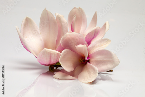 Foto op Aluminium Magnolia Beautiful magnolia flowers