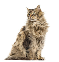 Maine Coon Isolated On White