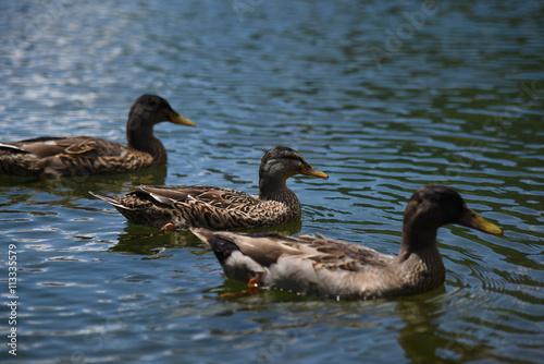 Fotografie, Obraz  oche anatre papere papera lago laghetto