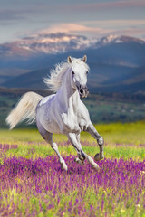 Obraz na Szkle White stallion with long mane run gallop in flowers against mountains