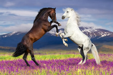Two Horse Rearing Up Against M...