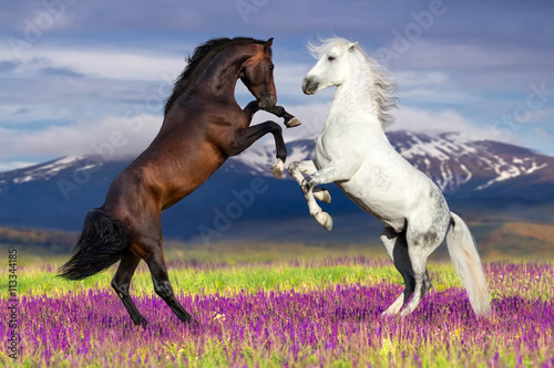 Foto op Canvas Paarden Two horse rearing up against mountain view in flower field