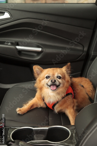 Pomeranian And Chihuahua Mix Dog Goes For A Ride In The Car He Is