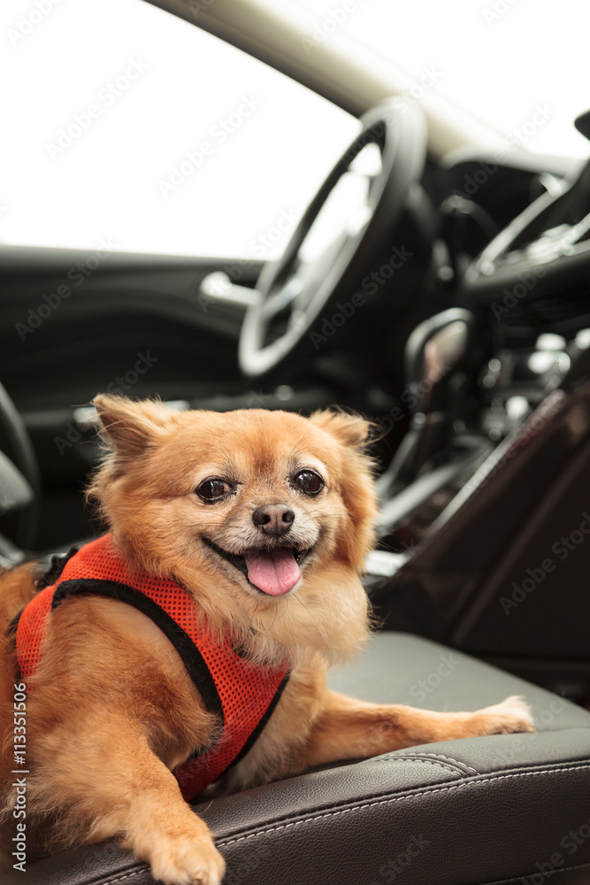 Pomeranian And Chihuahua Mix Dog Goes For A Ride In The Car Foto
