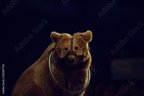 Fotografie, Obraz  Animals exploitation concept. Close up portrait of a tired bear