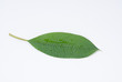 Wet Frangipani leaf on a white background.