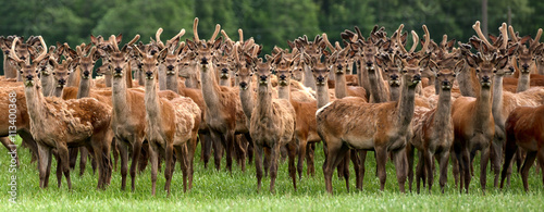 Poster Hert An entire herd of deers staring as though they have never seen a human before.