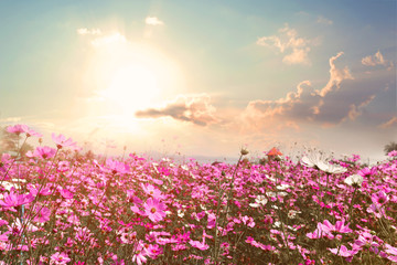 Naklejka Popularne Landscape nature background of beautiful pink and red cosmos flower field with sunshine. vintage color tone