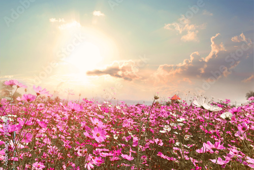 Fotografering  Landscape nature background of beautiful pink and red cosmos flower field with sunshine